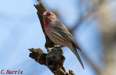 House Finch - Roselin familier (skivoile) Tags: house finch familier roselin