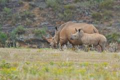mother and calf White Rhino, Eastern Cape, South Africa (cirdantravels (Fons Buts)) Tags: rhino rhinoceros neushoorn nashorn rhinocéros ceratotherium