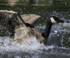CanadaGoose_SAF3583-4 (sara97) Tags: nature water outdoors wildlife goose missouri saintlouis waterfowl canadagoose brantacanadensis towergrovepark urbanpark photobysaraannefinke copyright2016saraannefinke