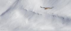 vol dans l'immensit (R - P Photography) Tags: white mountain snow bird animal animals montagne switzerland suisse os neige animaux blanc oiseau rapace vautour gypaetusbarbatus gypatebarbu