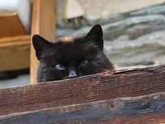 Face to face with the camera (2) (Marco Ottaviani on/off) Tags: cats canon piemonte curiosity piedmont gatti valvaraita coriosit varaitavalley marcoottaviani