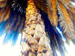 Palm tree! (denise.bardauil) Tags: plant texture nature nikon digitalart palmtree inopenair