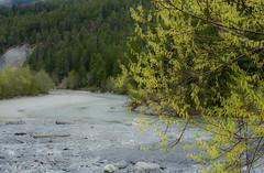 The young river Rhine (balu51) Tags: green yellow forest river landscape spring weide gelb willow april grn fluss rhine landschaft wald bltter rhein weidenktzchen 2016 blhen frhjahr graubnden surselva flusslandschaft vorderrhein copyrightbybalu51
