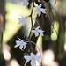 4Q4B9343_Aerangis modesta (Inflorescence)