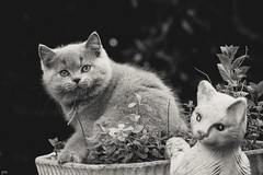 Little cat-model (Petra Wendt) Tags: blackandwhite pet cat olympus katze monochrom haustier kater britishshorthair ktzchen bkh schwarzweis britischkurzhaar rni catmoments zuiko75300 em5markii omdem5markii