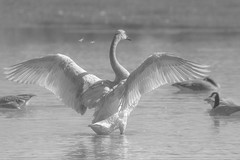 Feathers flying in the fog (frostnip907) Tags: blackandwhite alaska geese spring swan swans highkey canadageese trumpeter trumpeterswan trumpeterswans canon7d tamron150600mmf563spdivcusd