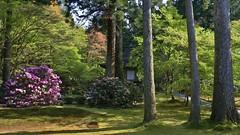 Rhododendron Garden / Kyoto  hara SANZEN-IN Temple 2 (maco-nonchR(on/off)) Tags: garden temple kyoto traditional rhododendron  kioto japon japons sanzenin       ojogokurakuin
