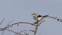 Record shot: Great grey shrike ~ Lanius excubitor (Cosper Wosper) Tags: somerset hills warren mendip laniusexcubitor butcherbird greatgreyshrike ubley