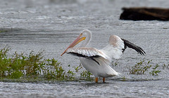 White Pelican Sunning (Vidterry) Tags: pelican americanwhitepelican
