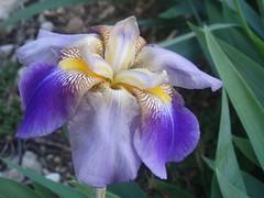 DSC00235 (gregnboutz) Tags: flowers flower macro gardens colorful macros macroflowers gardenflowers macroflower gardenflower colorfuliris macroiris macroirises colorfulmacros colorfulirises