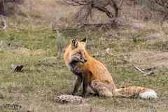 Regal Fox curious (chasingthewildoutdoors) Tags: bear wild mountains nature animal canon fur mammal spring action wildlife sigma fox springtime yellowstonewildlife 150600