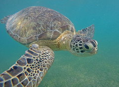 Sea turtle in Akumal Bay (benjaminfish) Tags: beach mexico riviera maya tulum yucatn peninsula roo quintana 2016