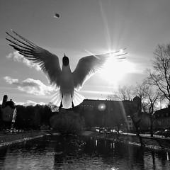 Piece of bread (cotnari73) Tags: blackandwhite bird castle nikon sweden gull 11 uppsala bianconero slott