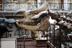 Rhinoceros (Martyn61) Tags: ireland dublin museum skeleton skull rhino bones fujifilm nhm 1900s travelbackintime classicchrome x100t rainydaynothingtodo victorianexhibits