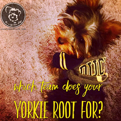 Which team does your Yorkie root for? (itsayorkielife) Tags: yorkie quote yorkshireterrier yorkiememe