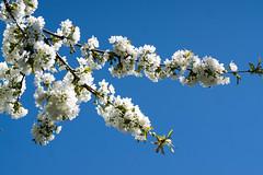 Wei auf Blau - White on blue (ralfkai41) Tags: blue trees plants white nature contrast cherry outdoor natur blossoms pflanzen blau kontrast bume blten kirsche weis