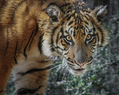 A Look Through Mixed Light (Penny Hyde) Tags: cub bigcat jaguar sumatrantiger safaripark flickrbigcats