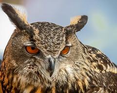 Eurasian eagle owl (cbjphoto) Tags: california bird photography eagle raptor owl eurasian avian birdofprey irwindale bubobubo renaissancepleasurefaire carljackson