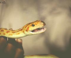 Toothless Growl! (Kashi Klicks) Tags: animal reptile snake passion python kashi kk snakeshow petshow randomclicks klicks festival kashiklicks kklicks fullfun