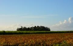 island in the cane (dustaway) Tags: autumn sky landscape australia nsw crops agriculture australianlandscape sugarcane remnant treeisland ruralaustralia northernrivers rurallandscape richmondvalley richmondriverfloodplains buckendoon