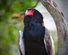 Bateleur Eagle (R.A. Killmer) Tags: red bird face fly eagle beak feathers national aviary hunter predator bateleur