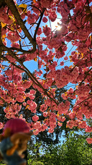 01/05/2016 day 252 : Labor Day - lazing under the Japanese cherry trees (shaye.photo@yahoo.fr) Tags: pink flowers paris tree weather rose fleurs cherry japanese sunny saintgermain figurine miss arbre cherrytree cerisier japonais meteo iphone issy issylesmoulineaux ensoleill moulineaux project365 365days 500px 365photos iphonephoto missmeteo ifttt iphone6s
