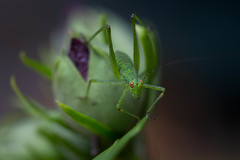 Ready to hop (Michel Couprie) Tags: flower macro nature animal fauna canon insect eos flora dof grasshopper michel couprie ef10028lmacro