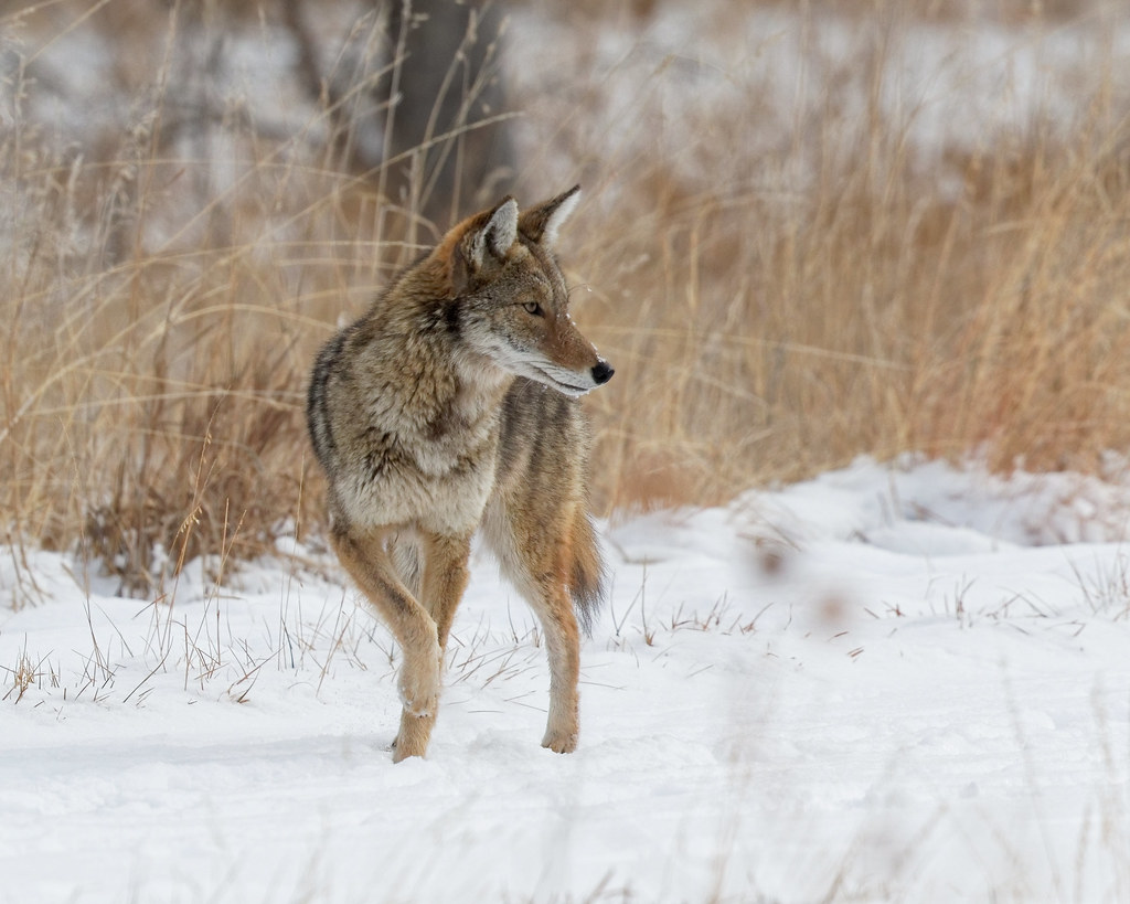 coyote hunting essay Coyote hunting is one of the fastest growing genres of essay on wolf and coyote derby turns tiny idaho town into battleground - a wolf and coyote derby.