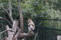 Happy New Year of the Monkey! (kuromimi64) Tags: vienna wien zoo austria sterreich europe   tiergartenschnbrunn barbaryape  barbarymacaque  viennazoo schnbrunnzoo schoenbrunnzoo