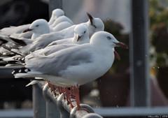 Silvergulls and water droplets (Merrillie) Tags: seagulls nature birds animals fauna nikon bokeh wildlife gulls australia coolpix waterdrops waterdroplets woywoy silvergull p600 nswcentralcoastnsw centralcoastnsw