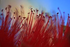 Le rouge  l'honneur (emmanuellemonsieur) Tags: red macro fleur catchycolors rouge 23ccfbt