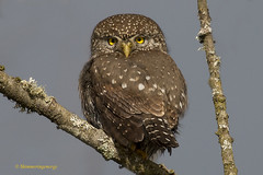 Those eyes! (Explored) (shimmeringenergy) Tags: northernpygmyowl glaucidiumgnoma