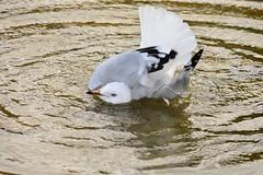Bath time Gull (Luke6876) Tags: bird animal wildlife gull australianwildlife silvergull