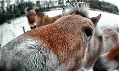sniffin' the photographer :-) (Frank//) Tags: winter horses horse snow holland ice hair cheval nose photo funny europe frost photographer meadow sharp grazing chevaux smelling frnk sonynex5 16mmpancake