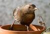Blackbird (Shane Jones) Tags: bird nikon blackbird tc14eii 200400vr d7200