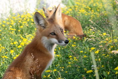 Enchantment (marylee.agnew) Tags: flowers red summer nature sunshine animal mammal outdoor wildlife magic canine fox