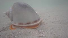 Rare snails on the sandy shores of Cyrene Reef (wildsingapore) Tags: nature marine singapore underwater wildlife coastal shore intertidal reef seashore oliva mollusca gastropoda marinelife wildsingapore cyrene glaucum cassidae olividae phalium miniacea