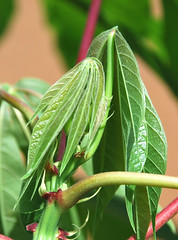 Young cassava shoots (IITA Image Library) Tags: leaves stems nigeria cassava iita manihotesculenta cassavashoots