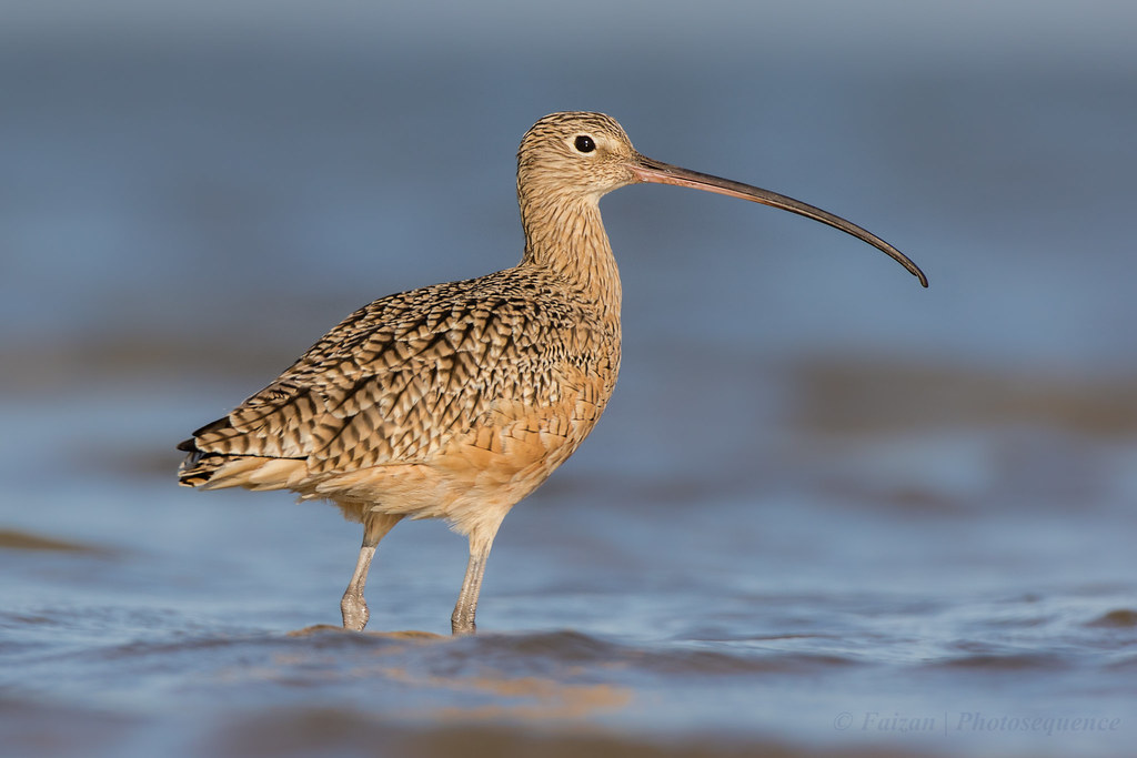 curlew muslim Technical series no 58 international single species action plan for the conservation of the eurasian curlew numenius arquata arquata, n a orientalis and n a suschkini.