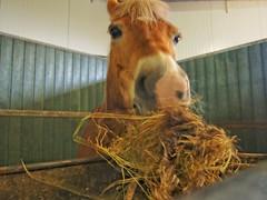 P1290007 (gill4kleuren - 11 ml views) Tags: horse sarah bezoek dentist haflinger tandarts anisia