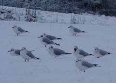 Black headed gulls (ramridgedave) Tags: black zoo beds january bedfordshire headed whipsnade 2016 zsl snowwhipsnade