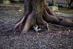 Today's Cat@2016-01-28 (masatsu) Tags: cat pentax cc100 catspotting mx1 thebiggestgroupwithonlycats