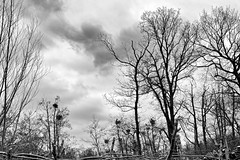 Dark winter forrest with nesting cormorants (Ruud_388) Tags: trees birds forrest cormorant birdsnest