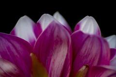 petals (दीपक) Tags: flower macro art night photography photo petals deepak pentax di af 70300mm tamron ld kumar rout k50 f456 pentaxart pentaxflickraward pentaxk50 365projectpentax