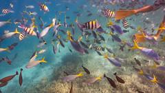Rock Island Fishsplosion (Warriorwriter) Tags: ocean sea fish water coral swimming colorful underwater diving reef palau pw oceania koror rockislands