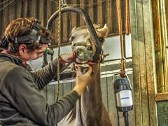 P1290089 (gill4kleuren - 11 ml views) Tags: horses dentist haflinger tandarts 2015 hengst