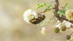 319A6748 Flower Chafer-Scarab Beetle, Cetonidae, Stalagmosoma cynankii, UAE (Priscilla van Andel - Travelling) Tags: uae scarabbeetle flowerchafer cetonidae stalagmosomacynankii