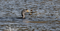 Day In The Park (1) (maggie.henfield) Tags: lake cormorant pike
