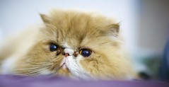 Fafy 50mm f1.2l (jayohaycheen) Tags: pet pets cute animals cat canon 50mm persian bed blurry eyes furry dof open purple wide smooth indoor whiskers 12l dialate f12l 5dc 5dclassic