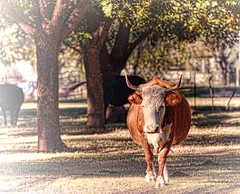 BIG BULLY (Irene2727) Tags: trees nature animal landscape shadows horns beast steer bully